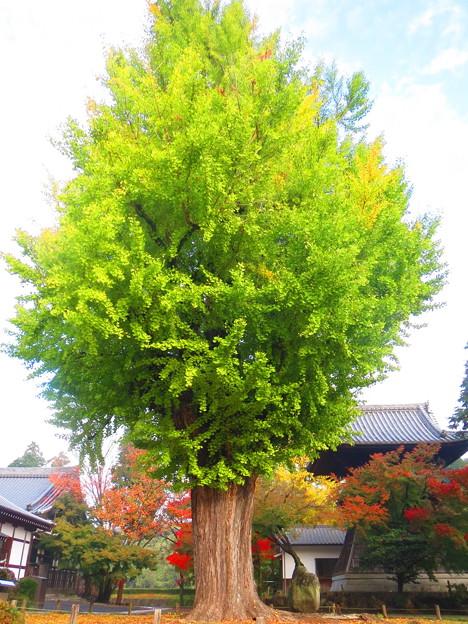 Photos: 樹齢700年