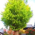 樹齢700年
