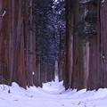 積雪の杉並木