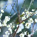 写真: ウメジロー-7