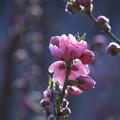 ハナモモ咲く