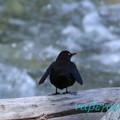 写真: ブラックペンギン?