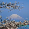 Photos: 富士桜