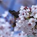 写真: 桜にルリタテハ