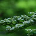 写真: ヤブデマリ
