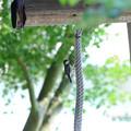 写真: 鐘を突くヤマガラ坊主