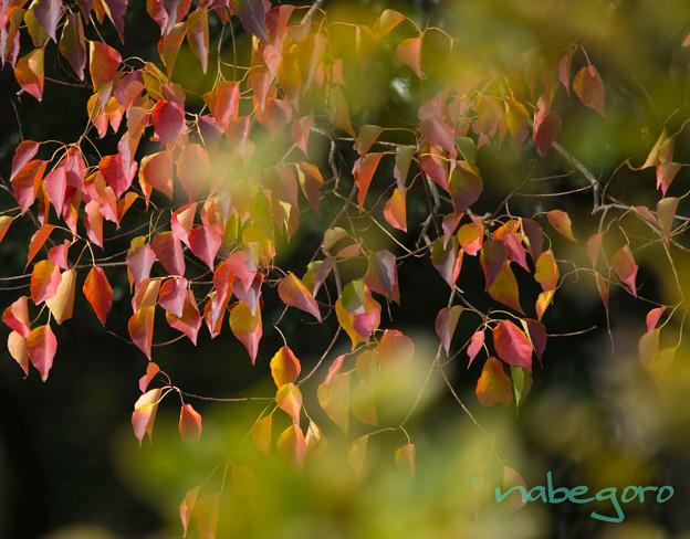 ナンキンハゼの秋