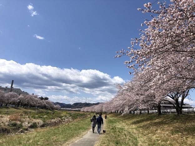 こだま千本桜