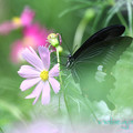 Photos: 花園とモンキアゲハ