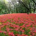 野川公園の彼岸花ー1