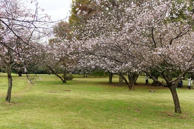 10月桜_2