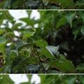 Photos: 雨だれ