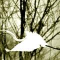写真: 飛ぶコサギ