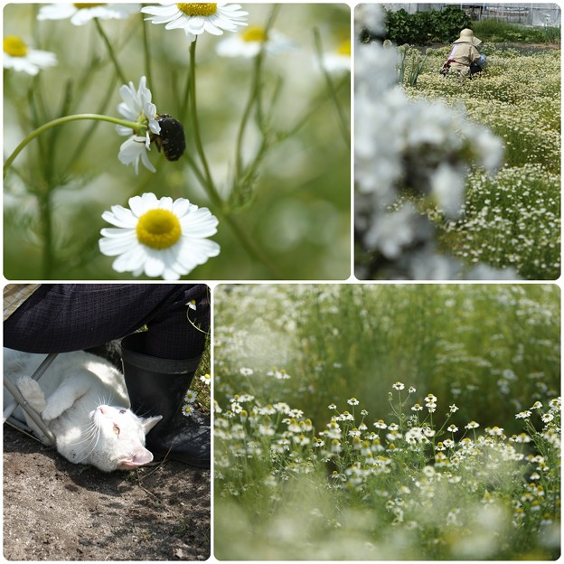我が家の花`14(カモミール)-4