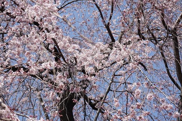 桜が降ってくるヨ!