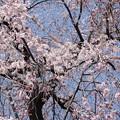 写真: 桜が降ってくるヨ!
