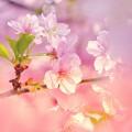 Photos: 桜夢譚