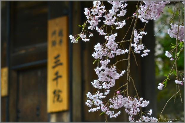写真: 雨桜