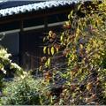 Photos: 柿びより