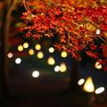 Photos: 夜もみじ