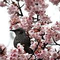 桜に囲まれご満悦
