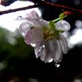 雨に濡れている十月桜