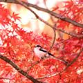 Photos: エナガの紅葉狩り