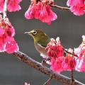 寒緋桜とメジロのコラボ
