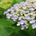 ダルマ紫陽花