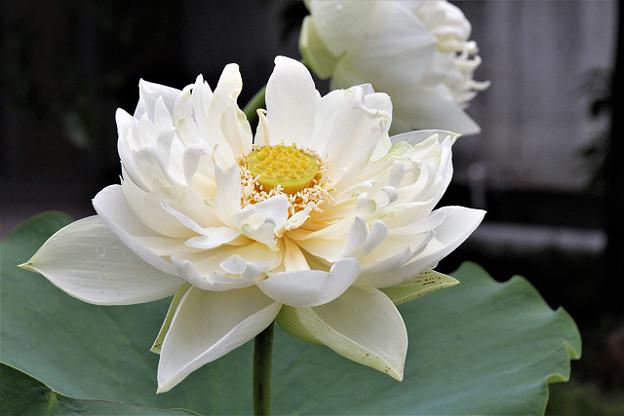 清楚で豪華な白いハスの花