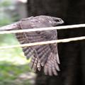 写真: オオタカの飛び姿