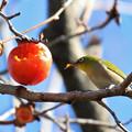Photos: 残り少ない柿を味わう