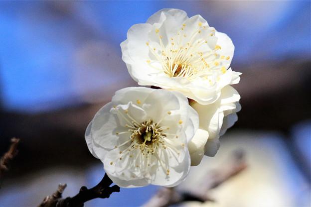 早咲き白梅