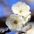 Photos: 早咲き白梅