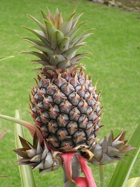 ピーチパインの実と新芽
