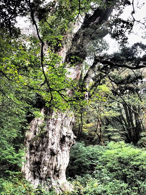 Photos: 樹齢7200年