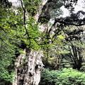 樹齢7200年