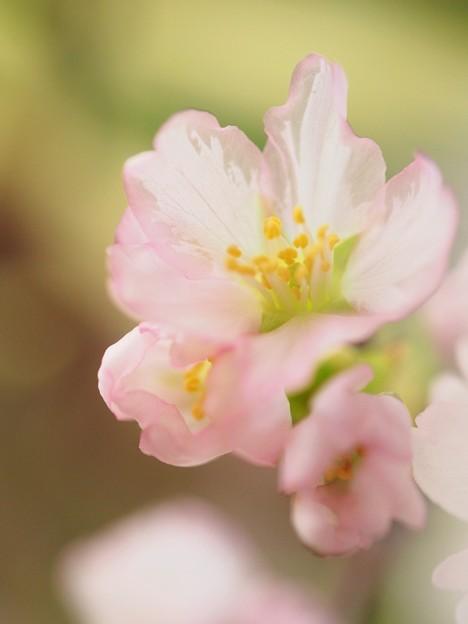 写真: さくら咲いたら