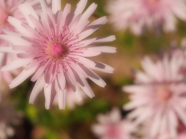 写真: もも色 咲きました ~風の花さんへ~