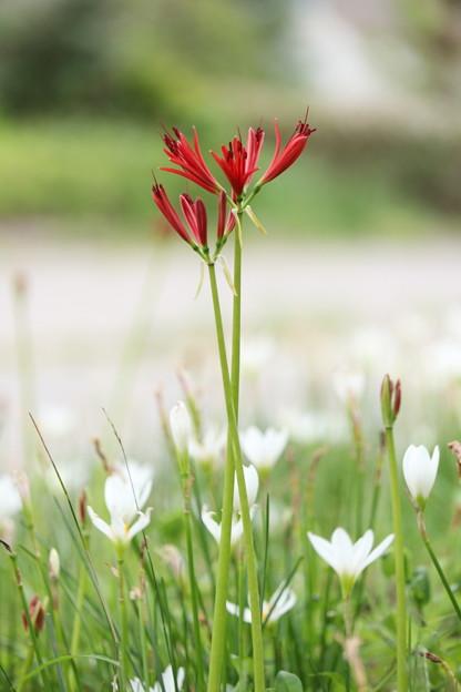 赤い華白い華