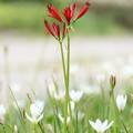 写真: 赤い華白い華