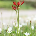 Photos: 赤い華白い華