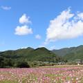 写真: 秋桜日和
