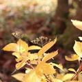 写真: アジサイにも秋