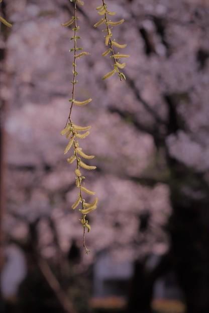 Photos: 柳青める