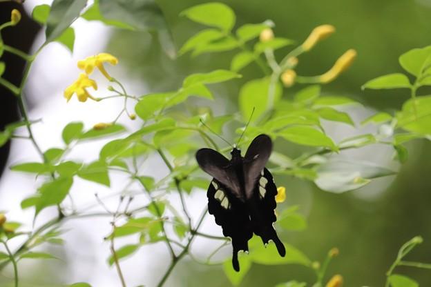 Photos: モンキの翅はハートの形