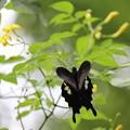 モンキの翅はハートの形