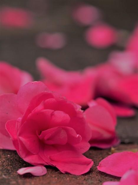 Photos: 落ちて咲く
