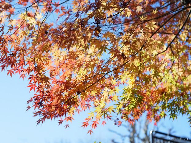 四谷散歩-0048019_紅葉