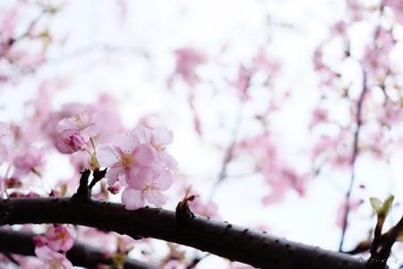 河津桜-6057